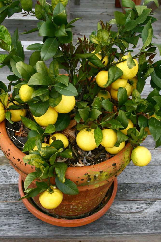 How To Grow Your Own Lemon Tree  U2013 Small Green Things